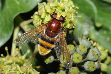 Hornet Mimic Hoverfly on English Ivy - North Vosges France
