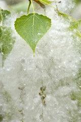 Cottony poplar fruits - Bugey France