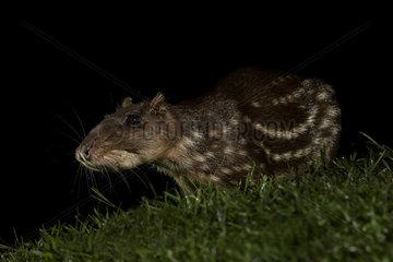 Paca (Cuniculus paca)  adult at night  Costa Rica