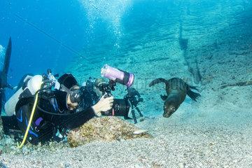 Scuba diver photographing a California sea lion  (Zalophus californianus)  Los Islotes  Sea of Cortez  Baja California  Mexico  East Pacific Ocean