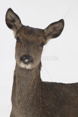 Portrait of Red Deer hind in the snow - Vosges France
