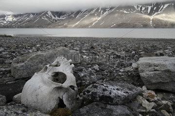 Human Skull on the shore - Spitsbergen