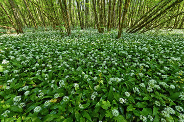 Ramsons flowers bloom undergrowth - Lavours marsh France