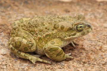 African Green Toad (Bufotes boulengeri) male  South West  Morocco