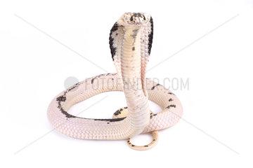 Indochinese spitting cobra (Naja siamensis) on white background