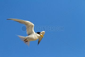 Little Tern in flight - Andalusia Spain