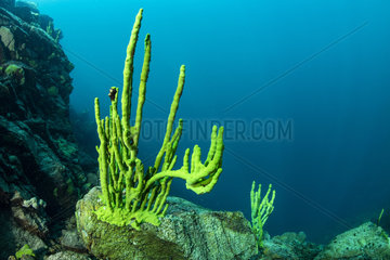 Endemic sponge (Lubomirskia baicalensis)  Lake Baikal  Siberia  Russia