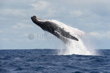 Humpback whale (Megaptera novaeangliae) A breaching humpback whale. Tonga.