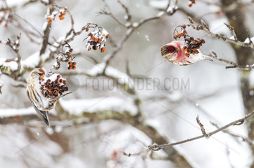 Common Redpoll eating berries in winter - Finland