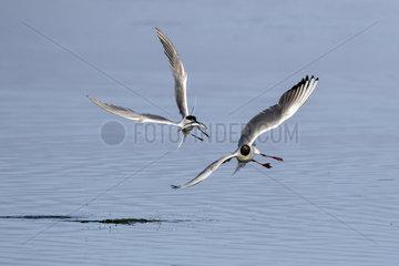 Black-headed gull (Larus ridibundus) and Sandwich tern (Sterna sandvicensis)  Quarrel in flight for a fish in spring  Polder of Sebastopol  Ile de Noirmoutier  Atlantic coast  France
