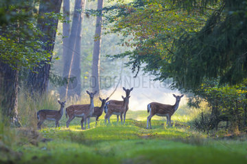 Herd of Fallow Deers (Cervus dama) in Summer  Females  Hesse  Germany  Europe