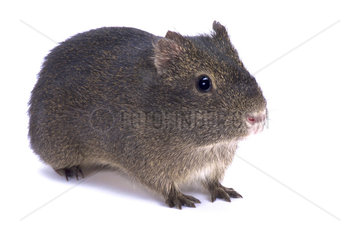 Montane guinea pig (Cavia tschudii) on white background
