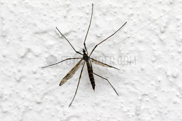 Large crane fly (Tipula maxima)  on a wall in spring  Country garden in Lorraine  France