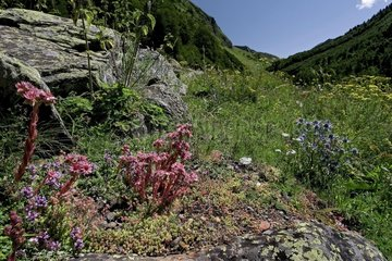 Rupicolous plants on silica rocks. There are Houseleeks (Sempervivum montanum L. subsp. montanum)  Stonecrops (Sedum sp.) and Wild thyme (Thymus serpyllum). Vall d'Aran. Lleida. Pyrenees. Catalonia. Spain.