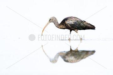 Glossy ibis (Plegadis falcinellus) and reflection  Ciudad real  Spain