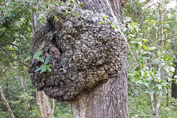 Burl (American English) or bur or burr on the bark of a tree  Wilpattu National Park  Northwest Coast of Sri Lanka