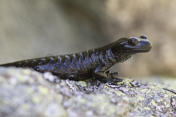 Lanza's Salamander (Salamandra lanzai)  Alps  Italy