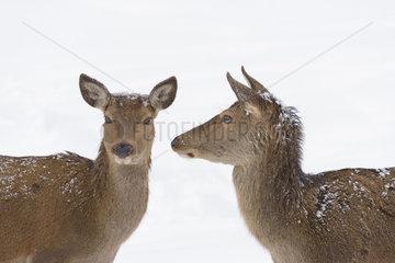 Red deers in Winter  Cervus elaphus  Female  Bavaria  Germany  Europe
