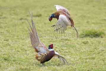 Pheasant (Phasianus colchicus) Pheasant fighting  Spring  England