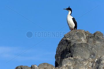 King Shag (Phalacrocorax atriceps) on a rock  Island in the Beagle Channel  Tierra del Fuego  Argentina