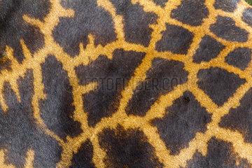 Masai Giraffe hair coat - Masai Mara Kenya