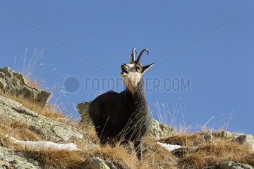 Chamois in rut in autumn - Mercantour Alpes France