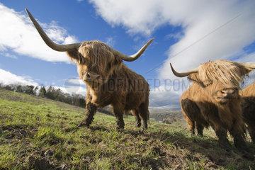 Highland bull  Massif Central  France