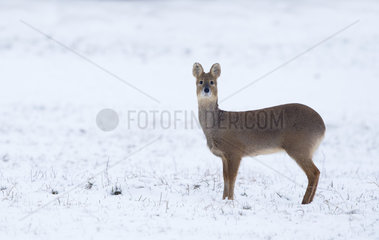 Chinese Water Deer standing in a snow covered meadow - GB