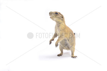 Black-tailed prairie dog (Cynomys ludovicianus) on white background