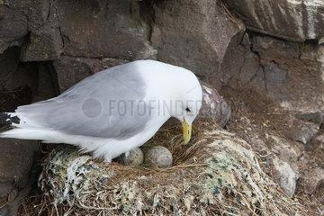 Kittiwake (Rissa tridactyla) discovering her eggs  Scotland