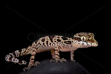 Butterfly forest gecko (Cyrtodactylus papilionoides)  Thailand