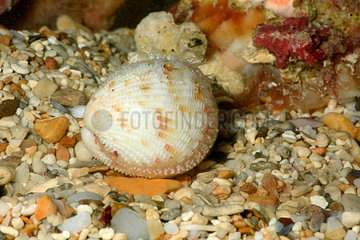 Ctenocardia on sand - New Caledonia