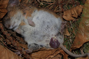 Long-tailed field mouse (Apodemus sylvaticus)  female giving birth and nursing her young  France