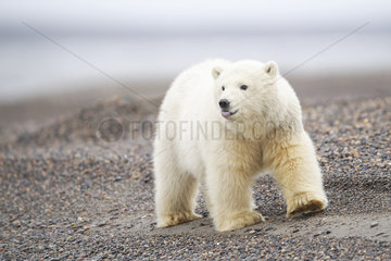 Polar bear (Ursus maritimus) young walking on shore  Barter Island  North of the Arctic Circle  Alaska.