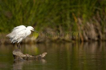 Little Egret snorting - Brazo del Este Spain