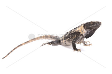 Club tail iguana (Ctenosaura quinquecarinata) on white background