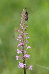 Burnet on Fragrant orchid flowers - Aquitaine France