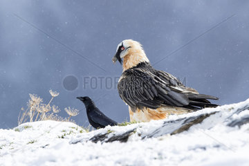 Lammergeier (Gypaetus barbatus)  adult with Carrion Crow (Corvus corone) in falling snow  Spanish Pyrenees