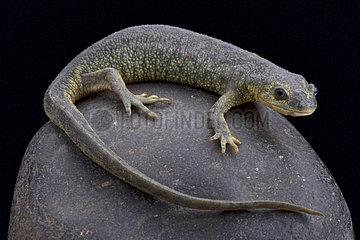 Algerian ribbed newt (Pleurodeles nebulosus) on rock on black background