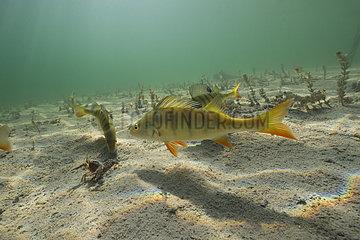 Common Perch (Perca fluviatilis) heckling an Ecrevisse  Lake Jura  France