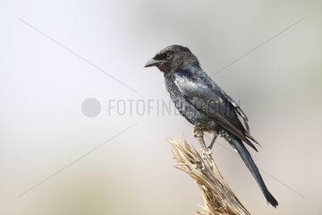 Southern black flycatcher (Melaenornis pammelaina)  Samburu  Kenya