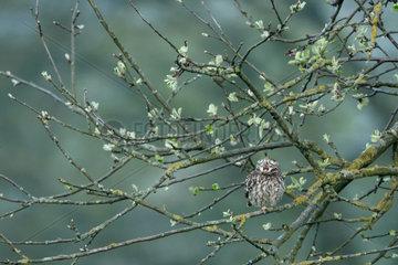 Little Owl (Athene noctua) in an old apple tree  Ardennes  Belgium