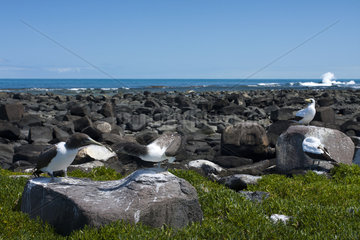 Masked booby on rock - Abrolhos Archipelago Brazil