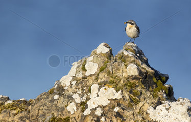 Wheatear (Oenanthe oenanthe) Bird with a prey in his bill  Shetland  Spring