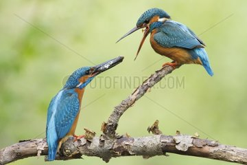 Common Kingfisher (Alcedo atthis) Nuptial gift  Alsace  France