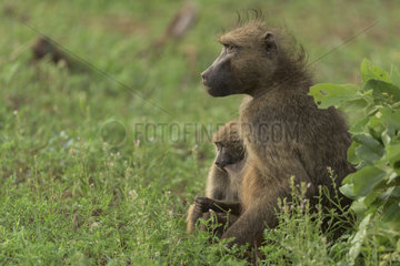 Chacma Baboon (Papio ursinus) female nursing  Kruger  South Africa