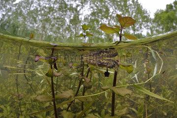 Palmated Newt (Lissotriton helveticus) male in a pond  Loir et Cher  Prairies du Fouzon  France