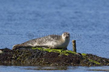 Common seal (Phoca vitulina) Seal resting on a rock  Shetland  Spring