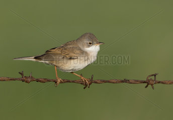 Whitethroat (Sylvia communis) Whitethroat perched on a barbed wire  England  Spring
