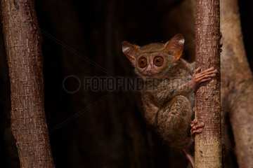 Spectral Tarsier (Tarsius tarsier) on Fig tree (Ficus) Tangkoko National Park  North Sulawesi  Indonesia